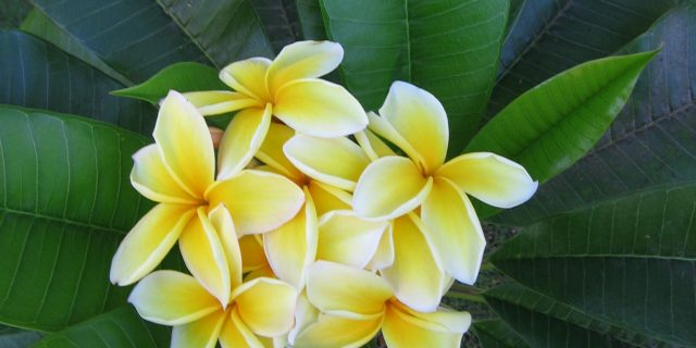 Plumeria, or dead man's flower